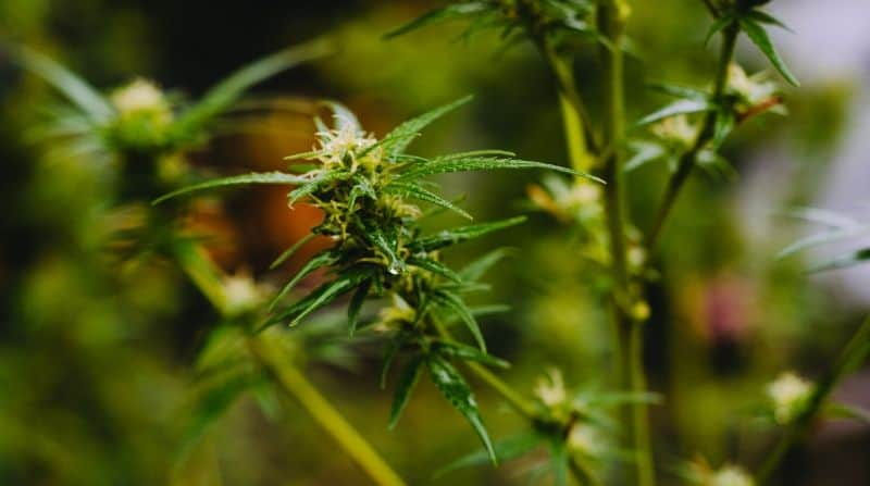 Cannabis and Terpenes – An Overview