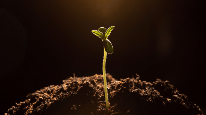 sprouted cannabis plant
